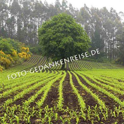 Baum im grünen Feld Galizien