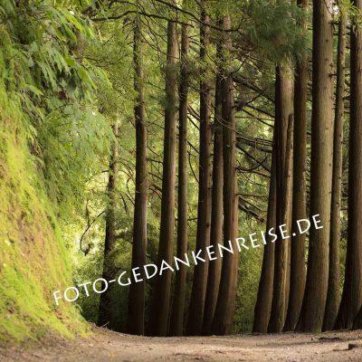 Baumreihe am Lagoa das Furnas Azoren