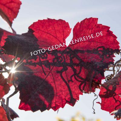 Rotes Weinblatt im Gegenlicht