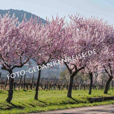 Mandelbäume Allee Pfalz