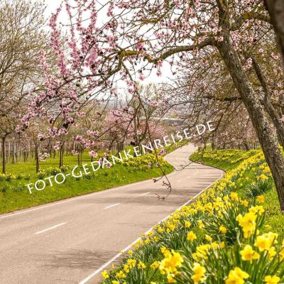 Mandelbäume und Osterglocken Nussdorf Landau Pfalz