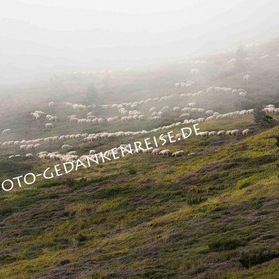 Schafherde im Nebel Pyrenäen