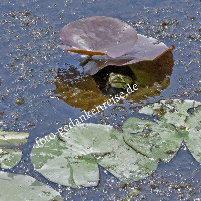 Seerosen mit Frosch