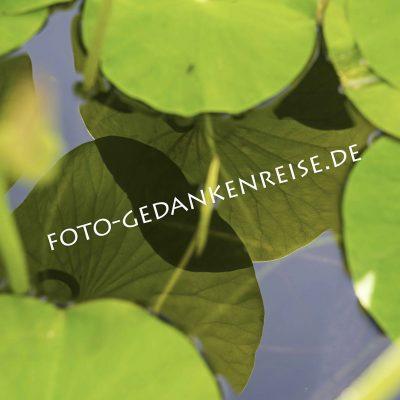 Spiegelungen Wasserpflanzen