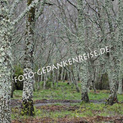Steineichen mit Flechten Extremadura