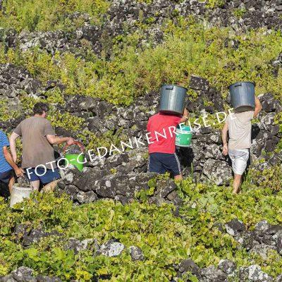 Weinlese auf den Azoren